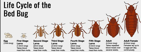 How do bed bugs look like